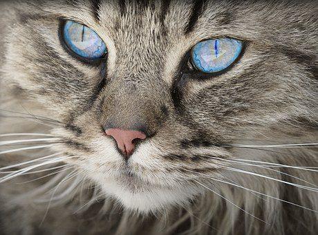 Hodowlane koty brytyjskie